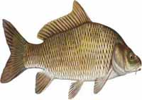 Common-Carp-Picture.jpg
